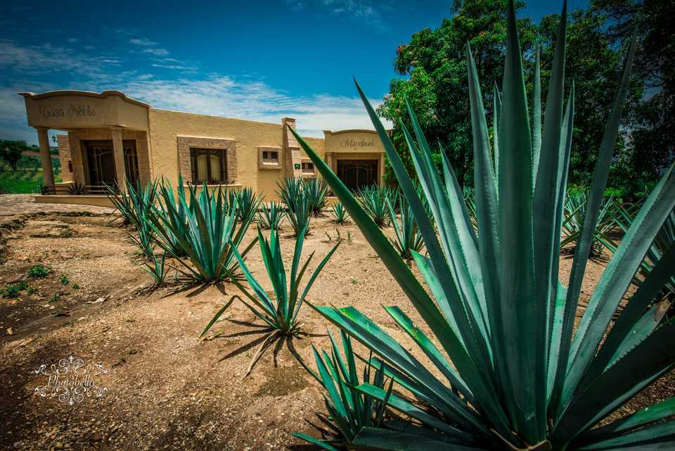Study reveals great bioenergy potential for Agave plant
