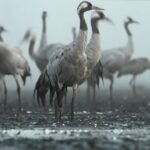 The unbelievable comeback of UK's cranes in 400 years